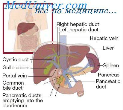 Обмін білків в печінці. Роль печінки в синтезі і руйнуванні білків