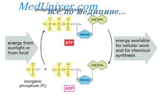 Роль адф у використанні енергії. Інтенсивність метаболізму в клітинах