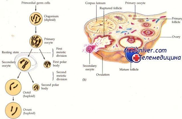 Оогенез. Історія вивчення