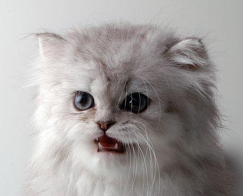 Панкреатит у кішок: гострий, хронічний