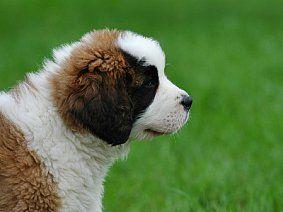 Гострий і хронічний панкреатит у собак: лікування