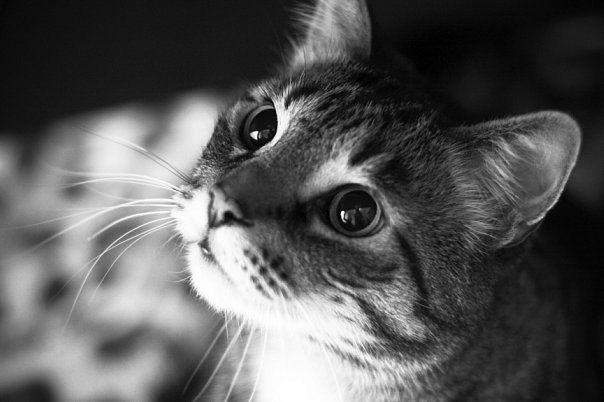 Котячий панкреатит: кішки, коти, кошенята