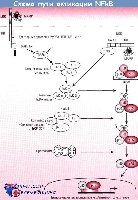 Патогенез шляху nfkb / rel в реакції епітелію кишечника на бактерії