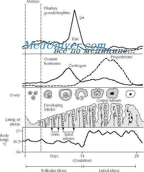 Перехідна лютеиновая-фолікулярна фаза менструального циклу. Регуляція