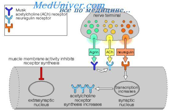 Типи ацетилхолінових і адренергічнихрецепторів. Автономна регуляція функції очей