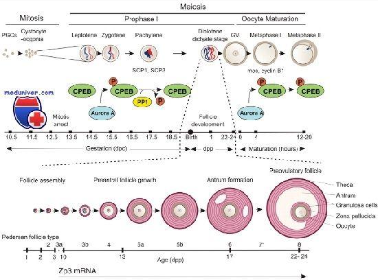 Полярність ооцита. Цитоплазматичних реорганізація