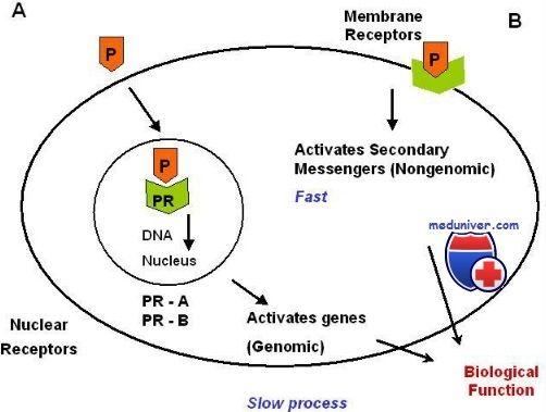 Прогестероновий рецептор. Будова і функція