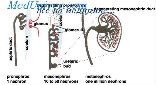 мезонефроз плода