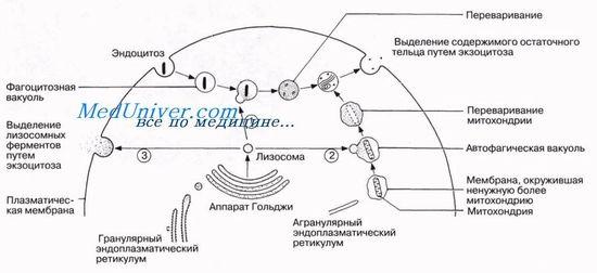 Аутофагально-лізосомальних система розщеплення білка апоптоз