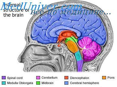 Розподіл симпатичних нервових волокон. Фізіологія парасимпатичної нервової системи
