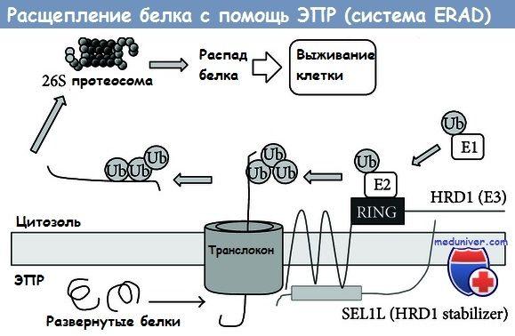 Розщеплення білка за допомогою епр (епр) система erad