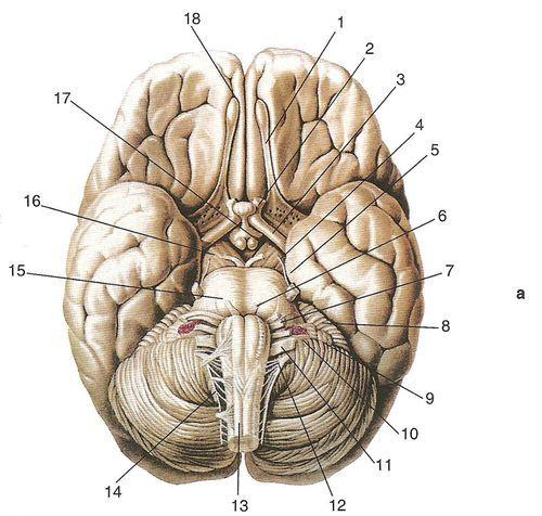 черепні нерви