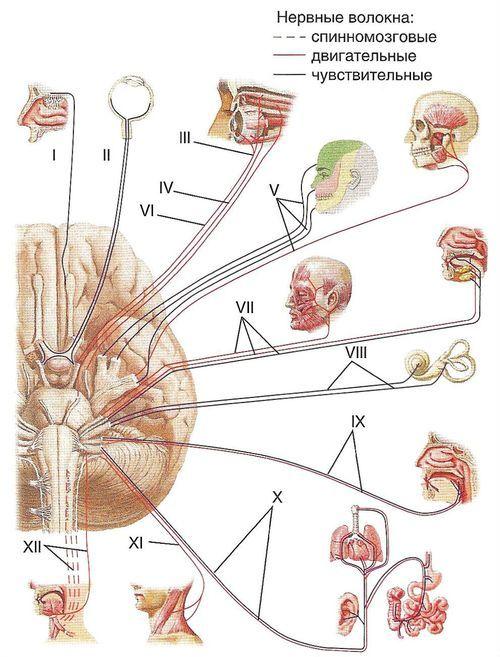 Особливості черепних нервів