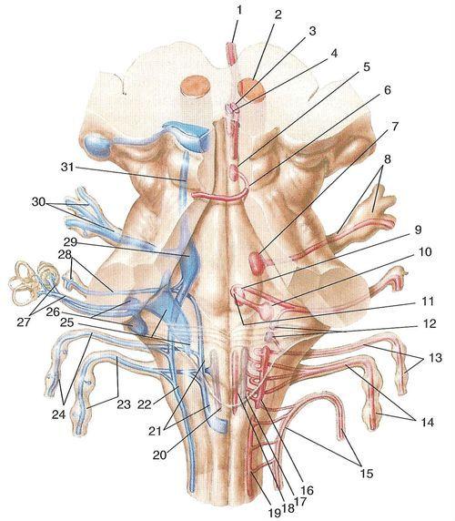 Ядра черепних нервів