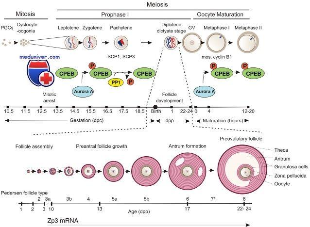 Розвиток ооцитів. Профаза i мейозу