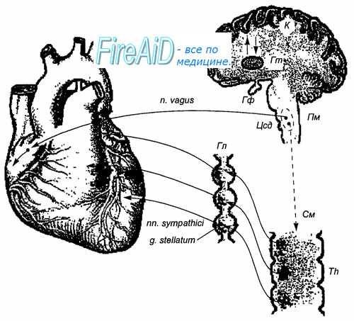 Кортикальні впливу на кровообіг. Вплив кори головного мозку на кровообіг.
