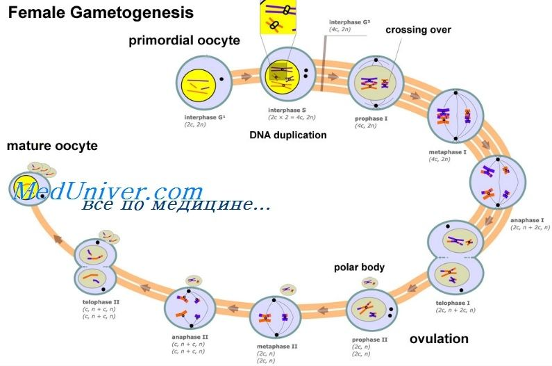 Регуляція фолликулогенеза. Трансформуючий фактор росту бета (тфр-b)