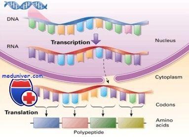 Регуляція транскрипції і трансляції в ооциті