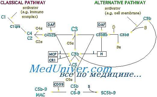Регуляторні механізми комплементу. Захисні функції комплементу