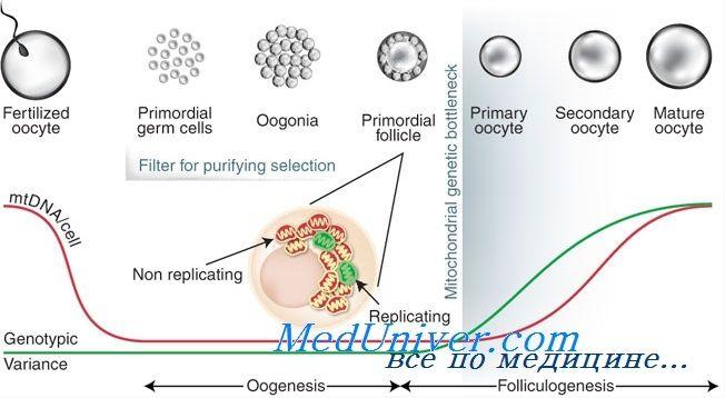 Рекрутування фолікулів. Вплив гонадотропінів на фолікулогенез