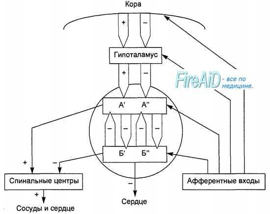 Загальна схема центральної регуляції кровообігу. Схема регуляції кровообігу.
