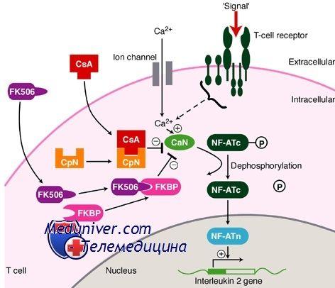 Такролімус, кортикостероїди і антитіла для імуносупресії