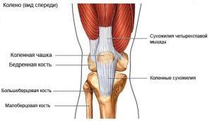 Тазостегновий і колінний суглоби дорослої людини