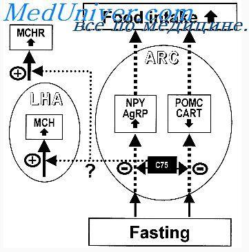 Регуляція кількості споживаної їжі. Короткочасна регуляція споживання їжі
