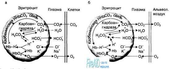 Роль еритроцитів в транспорті вуглекислого газу. Ефект Холдена.