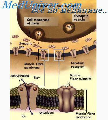 Холинергические і адренергічні волокна. Механізми секреції медіаторів нервової системи