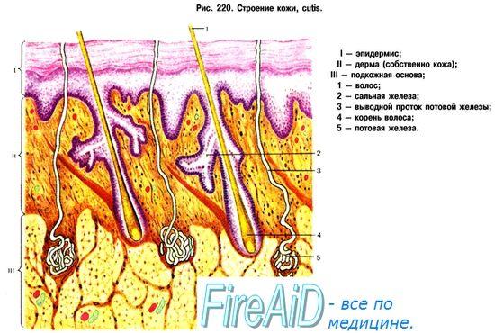 Кровопостачання шкіри. Інтенсивність кровотоку в судинах шкіри. Миогенная, гуморальна регуляція кровотоку в шкірі.