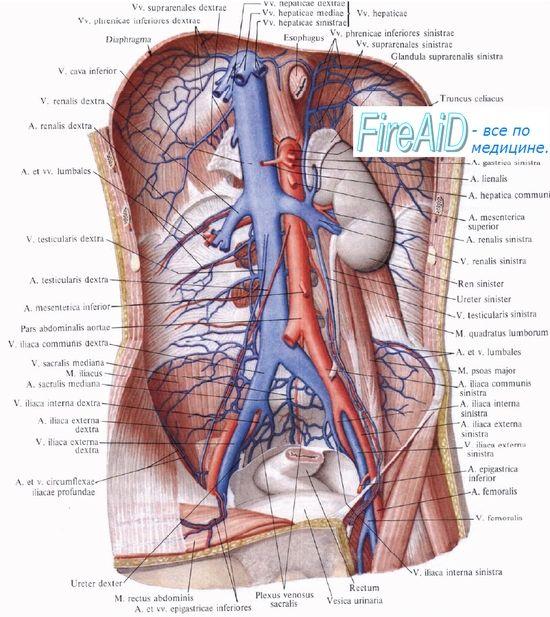 Кровопостачання нирки (нирок). Інтенсивність кровотоку в судинах нирки (нирок). Миогенная, гуморальна регуляція кровотоку в нирці (нирках).