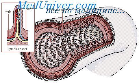 Чутливі нервові волокна кишечника. Шлунково-кишкові рефлекси