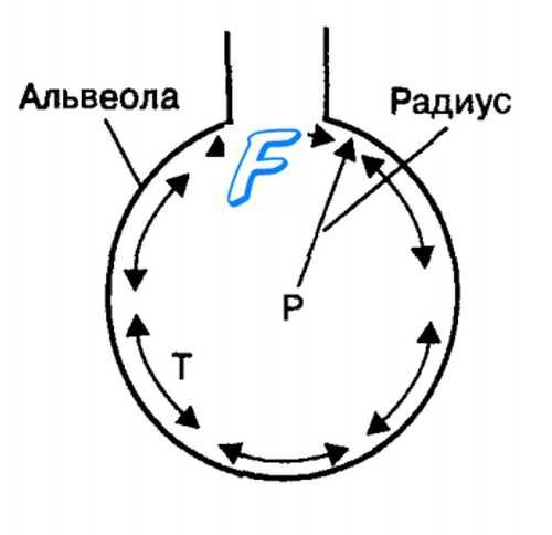Альвеоли. Сурфактант. Поверхневий натяг шару рідини в альвеолах. Закон лапласа.