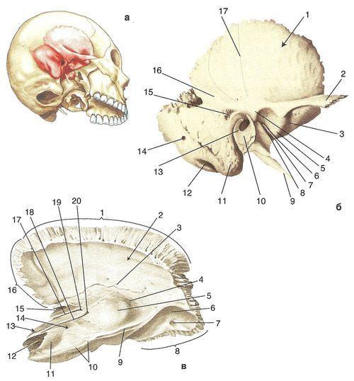 Скронева кістка