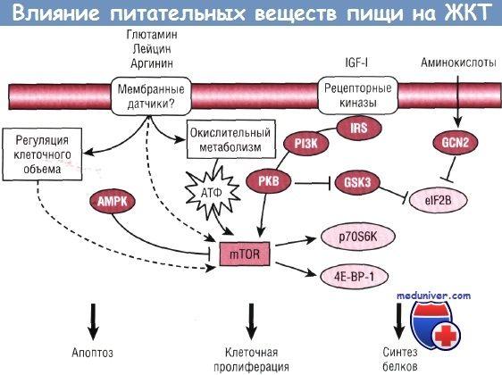 Вплив поживних речовин на ріст і розвиток шлунково-кишкового тракту (шлунково-кишкового тракту)