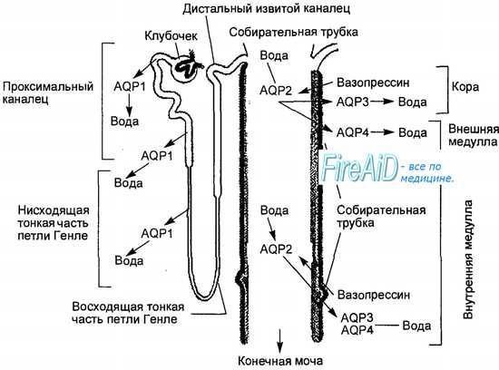 Анатомія ниркових клубочків. Будова