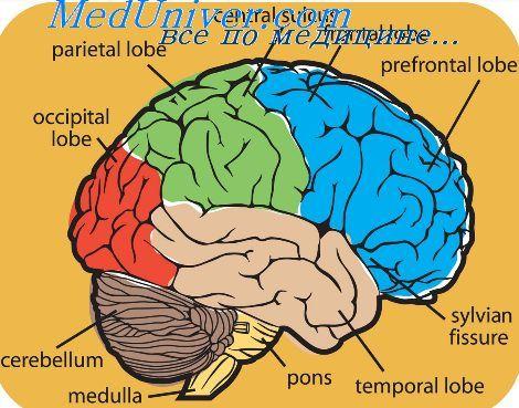 Збудлива область головного мозку. Таламус як регулятор активності мозку