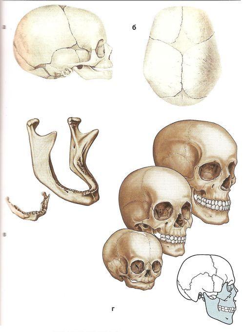 Вікові відмінності черепа