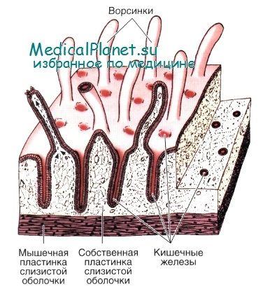 Вроджений імунітет кишечника: участь епітелію
