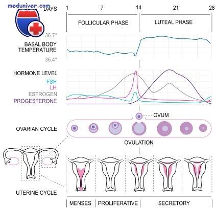 Значення естрогенів. Функції